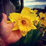 ¡Floración enorme del narciso! Foto de archivo libre de regalías