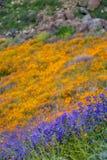 Floración estupenda de amapolas hermosas y de wildflowers púrpuras en las colinas de Walker Canyon en el lago Elsinore California imagen de archivo