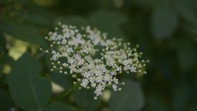 Floración europea de la flor de la anciano negra o de la baya del saúco almacen de video