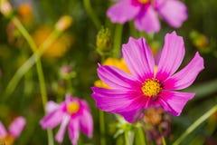Floración fresca del color del bipinnatus del cosmos en el cosmos del campo como fondo Foto de archivo libre de regalías