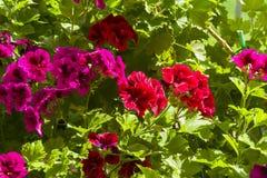 Floración geranio rojo y púrpura imagenes de archivo