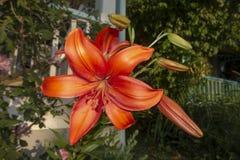Floración grande anaranjada de la flor en un yerd delantero de un hogar con un pórtico blanco de la cerca fotos de archivo