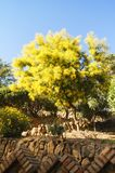 Floración grande del árbol del ` s de la mimosa fotografía de archivo