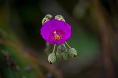 Floración grandiflora de Renilla del Calandrinia Imágenes de archivo libres de regalías