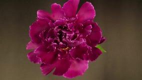 Floración hermosa de la flor almacen de metraje de vídeo