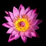 Flor de Lotus Foto de archivo libre de regalías