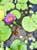 Floración hermosa de la flor y de la abeja de loto de los lilyNymphaeaceae del agua imagen de archivo libre de regalías