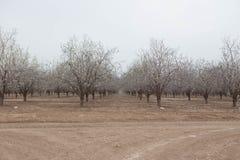 Floración hermosa de la primavera de los árboles de almendra de las huertas de la almendra en fila Imagen de archivo libre de regalías