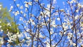 Floración hermosa de la rama del manzano metrajes