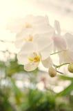 Floración hermosa de las orquídeas por la mañana Fotos de archivo libres de regalías