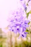 Floración hermosa de las orquídeas por la mañana Fotografía de archivo libre de regalías