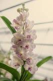 Floración hermosa de las orquídeas por la mañana Imagen de archivo libre de regalías