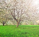 Floración hermosa de los árboles frutales blancos decorativos de la manzana y Imagenes de archivo