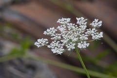 Floración hermosa del cordón de la reina Anne Foto de archivo libre de regalías