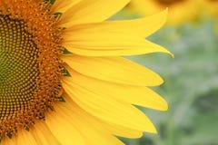 Floración hermosa del girasol Fotos de archivo libres de regalías