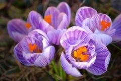 Floración hermosa macro rayada púrpura y blanca del azafrán de la primavera Imagen de archivo libre de regalías