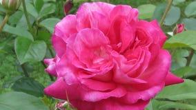 Floración hermosa rosa completamente abierta del rosa imagenes de archivo