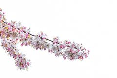 Floración Himalayan salvaje de los cerasoides de Cherry Prunus usada como backgro Fotos de archivo libres de regalías