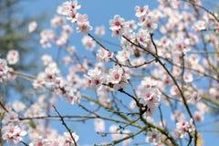 Floración japonesa blanca y rosada hermosa de Cherry Blossom Trees In Full en The Sun con el cielo azul imagen de archivo libre de regalías