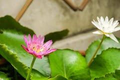 Floración loto púrpura y blanco con la pequeña abeja en la charca Fotografía de archivo