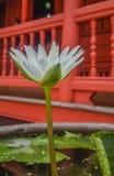 Floración Lotus-blanca blanca del lirio de agua plena Imagenes de archivo