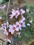 Floraci?n m?xima de las flores rosadas de la flor de cerezo foto de archivo libre de regalías