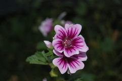 floración magenta de la malvarrosa de la herencia Foto de archivo libre de regalías