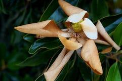 Floración marchitada de la magnolia Foto de archivo libre de regalías