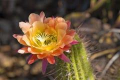 Floración multicolora del cactus Imagen de archivo