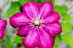 Floración muy hermosa de una flor roja de la rosa Fotografía de archivo