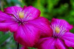 Floración oscuro-rosada de la clemátide Fotos de archivo libres de regalías