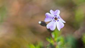 Floración púrpura 1 foto de archivo