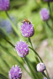 Floración púrpura de la cebolleta de Beeon de la miel Imagenes de archivo