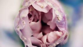 Floración púrpura de la flor, abriendo su flor Lapso de tiempo ?pico Naturaleza maravillosa Mundo futurista almacen de video