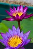 Floración púrpura de la flor de loto Imágenes de archivo libres de regalías