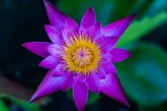 Floración púrpura de la flor de loto del primer Fotos de archivo