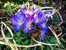 Floración púrpura de la flor del azafrán de la primavera fotografía de archivo