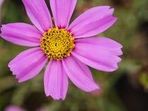 Floración púrpura de la flor del cosmos Fotos de archivo libres de regalías