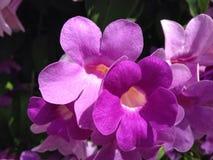 Floración púrpura de la planta del ajo de la flor purpúrea clara foto de archivo libre de regalías