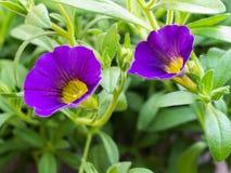 Floración púrpura de las flores de la petunia Fotografía de archivo