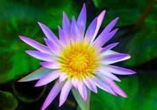 Floración púrpura de las flores de loto Imagen de archivo libre de regalías