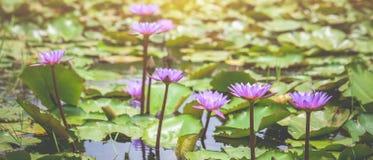 Floración púrpura de las flores de loto imagenes de archivo