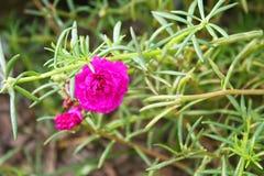 Floración púrpura de Moss Rose imagenes de archivo