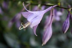 Floración púrpura del anfitrión Foto de archivo libre de regalías