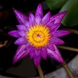 Floración púrpura del lirio de agua Fotos de archivo libres de regalías