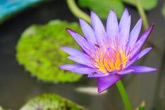 Floración púrpura del loto Fotografía de archivo libre de regalías