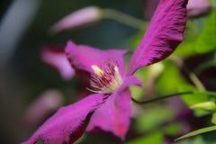 Floración púrpura en vid de la clemátide Imágenes de archivo libres de regalías