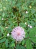 Floración púrpura redonda de la flor fotos de archivo