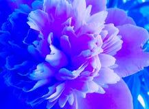 Floración peonía azul y rosada Flor azul hermosa de Peonie Peonías en el jardín Imagen de archivo