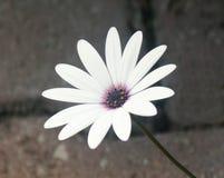 Floración a pesar de las piedras fotografía de archivo libre de regalías